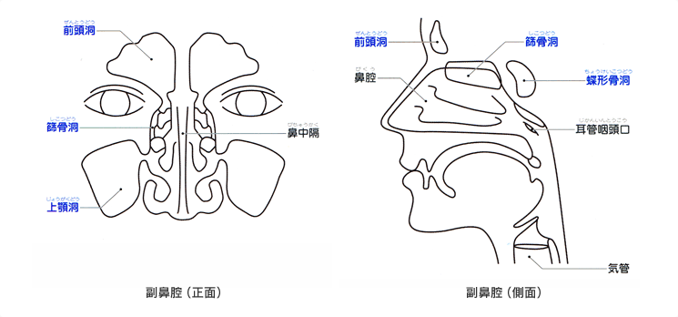 鼻腔手绘结构图